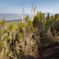 Gnarly Vegetation on Kilimanjaro