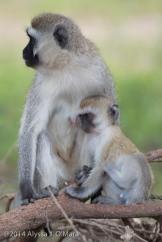 Vervet Monkey-Alyssa O'Mara