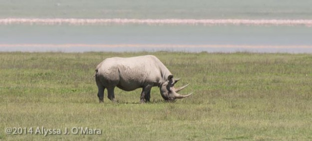 Black Rhino-Alyssa O'Mara