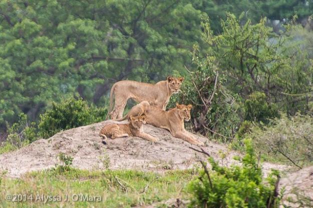 Lion Pride-Alyssa O'Mara