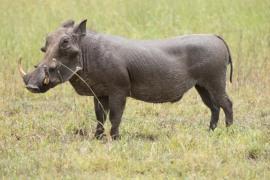 Warthog-Alyssa O'Mara