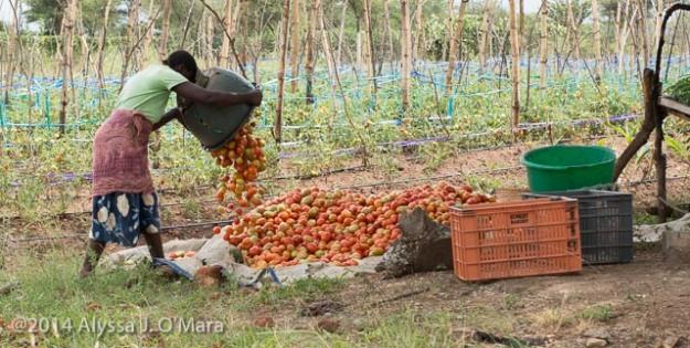 Tomato Pile - Alyssa O'Mara